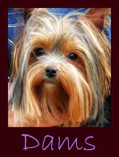 Crescent Yorkies Montana Yorkies Yorkshire Terrier Puppies For Sale