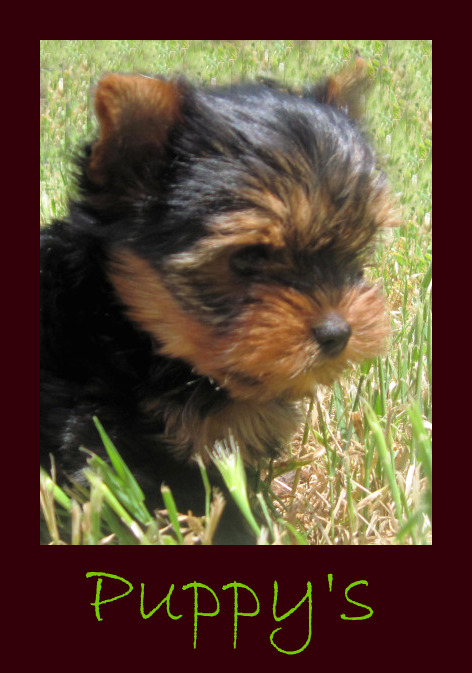 Crescent yorkies Montana Yorkies Yorkshire Terrier puppies